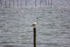 Seagull resting on a bamboo Stock Images