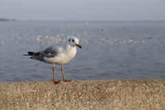 Seagull resting Stock Images