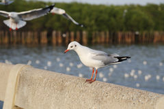 Seagull resting Stock Photo