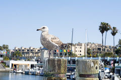 Seagull resting on boardwalk post Stock Image