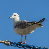 Seagull Royalty Free Stock Image