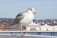 Seagull resting at the coast Royalty Free Stock Image
