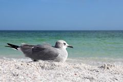 Seagull Resting on Florida Beach by Ocean with Copy-space Royalty Free Stock Photo