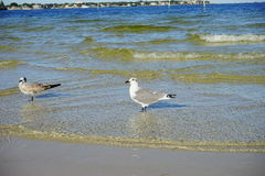 Seagull resting Stock Photography