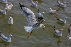 Seagull resting flying. Thailand sea with seagull flying Stock Photo