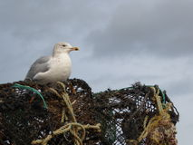 Seagull resting on lobster pots. A seagull waiting on top of a stack of a pile of empty lobster pots with a background of a stormy winter sky Royalty Free Stock Image