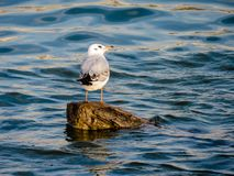 Seagull on the log royalty free stock photo