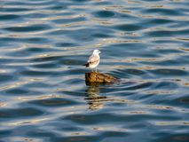 Seagull on the log stock image