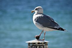 Seagull resting and looking over the horizon royalty free stock photography