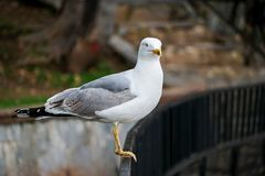 Seagull. Resting near the sea Royalty Free Stock Photography