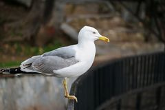 Seagull. Resting near the sea Stock Images