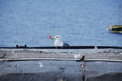 Seagull. A seagull while resting on the pier Royalty Free Stock Photography
