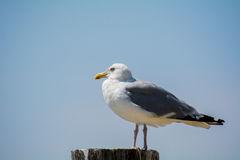 Seagull Resting Royalty Free Stock Images