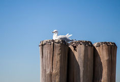 Seagull resting on pier Stock Images
