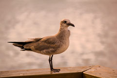 Seagull Resting On A Pier Stock Photo