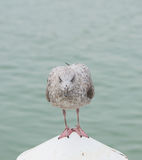 Seagull resting on a pole. Taken at the seaside town, Littlehampton , England Stock Images