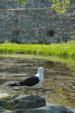 Seagull resting on a rock Royalty Free Stock Images