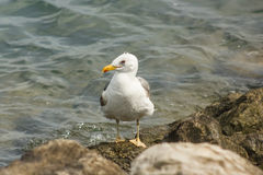 Seagull resting on a rock at seashore Royalty Free Stock Photos