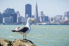 Seagull resting on a rock on the shoreline of Treasure Island, San Francisco downtown in the background, California stock photos