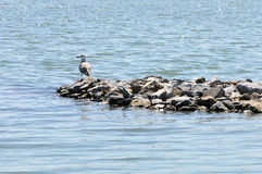 Seagull resting. A single seagull resting in the sun a bed of rocks Royalty Free Stock Image