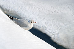 Seagull resting in the snow Stock Image