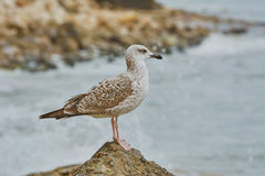 Seagull Resting on Stone Royalty Free Stock Images