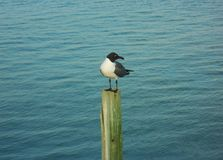 Seagull on a pole. Seagull resting on top of a pole in the middle of large basin of water Royalty Free Stock Photography
