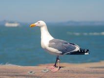 Seagull resting in warm tones on wooden rail near sea Stock Photo