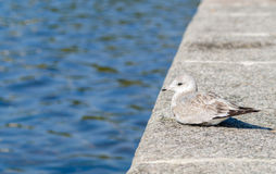 Seagull resting by the water Stock Images