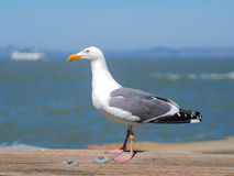 Seagull resting on wooden rail near sea. Seagull standing on the wooden rail at the harbour with blurred sea and sky in the background in natural colours Royalty Free Stock Photo