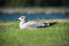 Seagull Resting. A zoomed in image of a seagull lying in the grass Stock Image