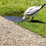 Seagull resväska Queensland, sommarvärme Royaltyfri Foto