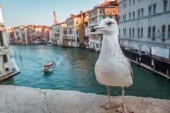 Seagull on the Rialto Bridge in Venice Stock Photos