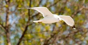 Seagull Ringbilled στην παραλία σταθμών Στοκ Φωτογραφία