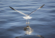 Seagull Rising from the Hudson River - Webbed Feet Touching the Water. Seagull rising off the water beginning its flight - the very tips of its webbed feet still Stock Image