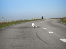 Seagull on the road Stock Photo