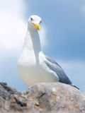 Seagull on the rock Royalty Free Stock Images