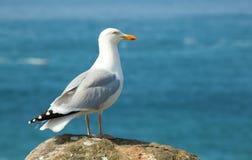 Seagull on a rock Stock Photos