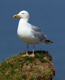 A seagull on a rock. In Helgoland Royalty Free Stock Photos