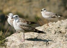 Seagull on the rock Stock Photos