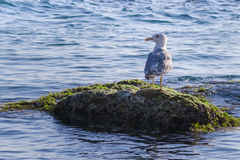 Seagull on a rock Stock Image