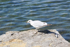 Seagull. A seagull on the rock Royalty Free Stock Photography