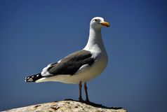 Seagull on a Rock. A California sea gull stands on a rock looking for its next meal Royalty Free Stock Image