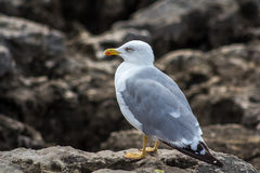 Seagull on rock. In Cascais, Portugal Stock Photos