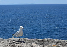 Seagull in a rock cliff in front of the Mediterranean sea Stock Image