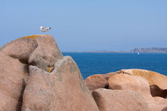 Seagull at rock at the coast of Brittany Royalty Free Stock Photos