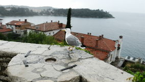Seagull on rock fence glidecam footage stock video footage
