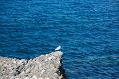 Seagull on rock Royalty Free Stock Image