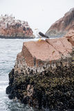 Seagull on Rock Iceland Royalty Free Stock Image