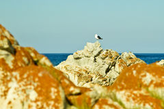 Seagull on a rock Stock Photography